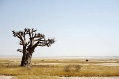 Africa Baobab