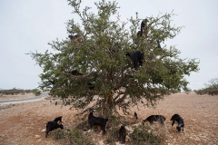 goat tree Marocco